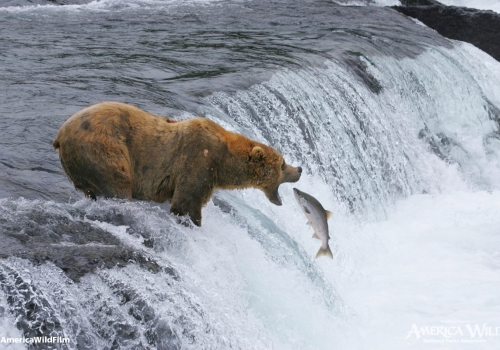 Brown Bears in Katmai National Park and Preserve