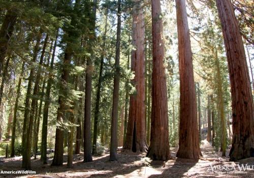 Sequoias in Yosemite National Park